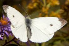 A Cabbage White.