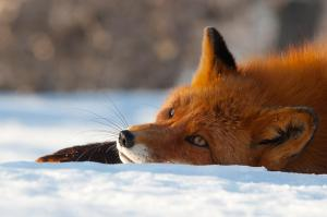fox lie in snow