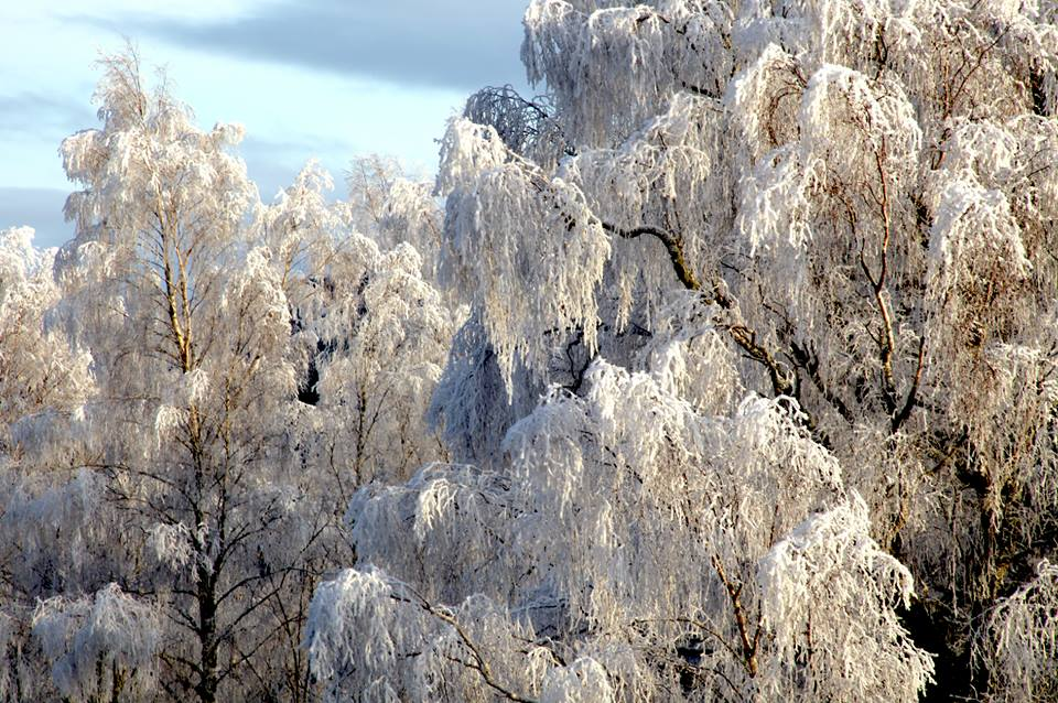 snow trees from Trees for Life