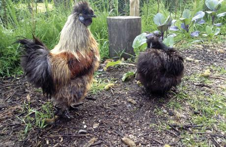 cock and hen Silkies_lead.jpg