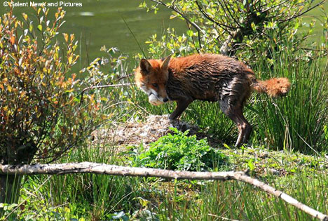 fox with egg in mouth 1.jpg